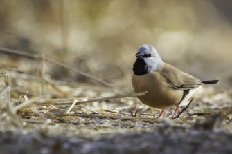 The first official count of endangered black-throated finch at the Carmichael coal mine site shows numbers have dropped from 1026 to 185. The mine company says the drop is seasonal, linked to the drought and fewer surveys.