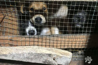 The Dog Meat-Free Indonesia coalition has uncovered the brutal actions of dog meat traders in Solo, Central Java.