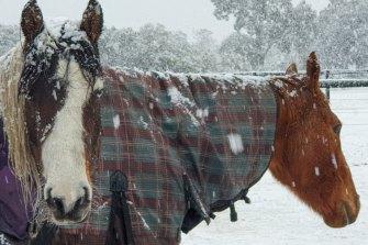 Horses brave the snow in Kyneton on Sunday.