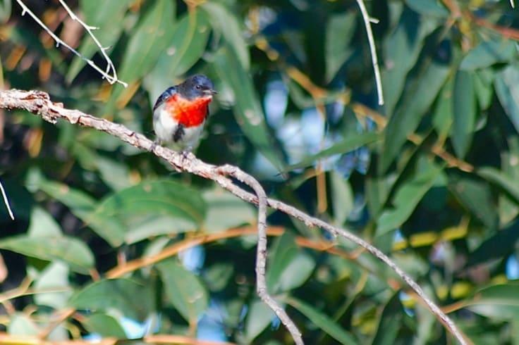 A mistletoe bird in the Underwood Avenue bushland in Shenton Park.