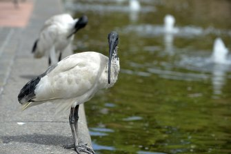 Ample food and water supplies have attracted increasing numbers of ibis.