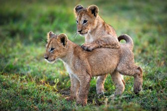 Two baby lion kings on the Botswanan wetlands.