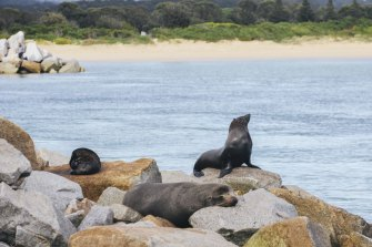 Fur seals on the Narooma breakwater in happier times.