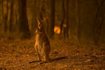 An eastern grey kangaroo licks burnt paws after escaping from the Liberation Trail fire, visible at the rear, near Nana Glen, NSW, in November.