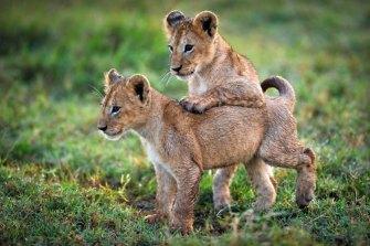 Two baby lion kings on the Botswanan wetlands.