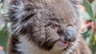 At risk: Koala habitat has been severely eroded.