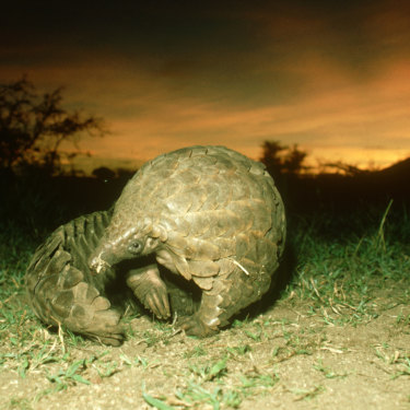 The endangered pangolin now carries the auspicious title of the world's most illegally trafficked animal as demand for its scales and meat continues to soar.
