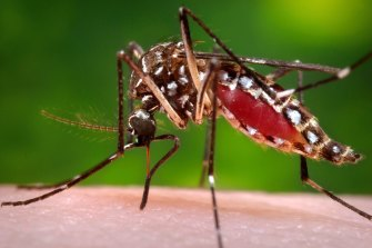 Scientists believe mosquitoes are are part of the transmission chain that connects the Buruli ulcer to humans.