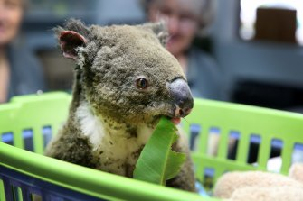 A koala named Paul from Lake Innes Nature Reserve being treated for burns at the Port Macquarie Koala Hospital.