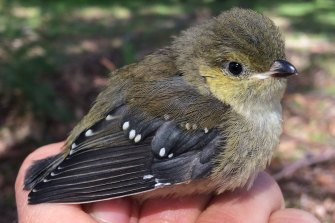 """The 40-spotted pardalote are unique in using their stubby beaks to """"farm"""" manna - the sugary secretion from white gum eucalyptus trees."""