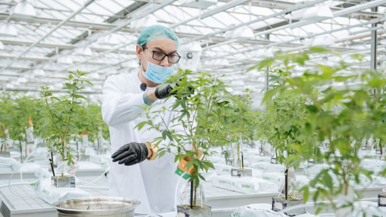 A grow technician manicures a plant in the propagation and mothering room at the CannTrust Holdings production facility in Fenwick, Ontario, Canada.