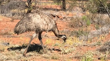 An emu outside Charleville in outback Queensland.