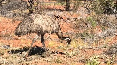 An emu outside Charleville in outback Queensland.