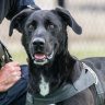 The remarkable story of Chase, the AFP's truly wonder dog