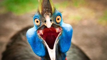 The cassowary makes a guttural rumble which is among the lowest frequency call of any bird.