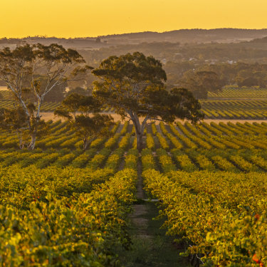 Yalumba in the Barossa Valley, South Australia.