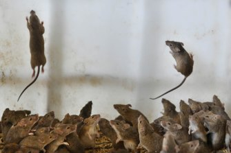 A mice plague has been devastating for parts of inland NSW.
