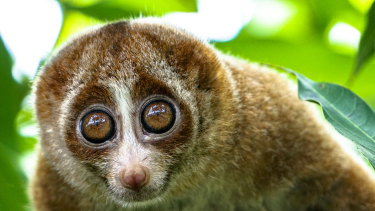 Research has found the venom released by the slow loris is very similar to proteins in cat saliva.