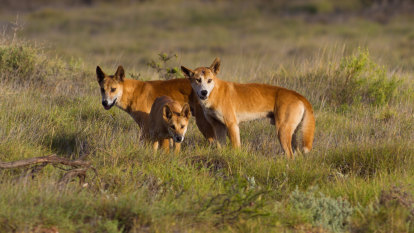 WA miner fined after worker mauled by pack of dingoes