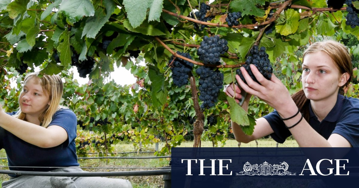 The grape escape: Students ditch books for first harvest in school's vineyard