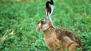 A European hare. They were introduced several times in Australia.