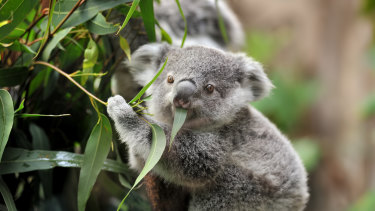 Koalas were listed as a threatened species in 2012, and of the habitat cleared up to 2017, 90 per cent was not reviewed by the federal government for its impact to the species.