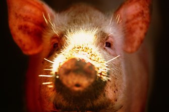 Researchers are hopeful of breakthroughs in the use of pig organs in humans.