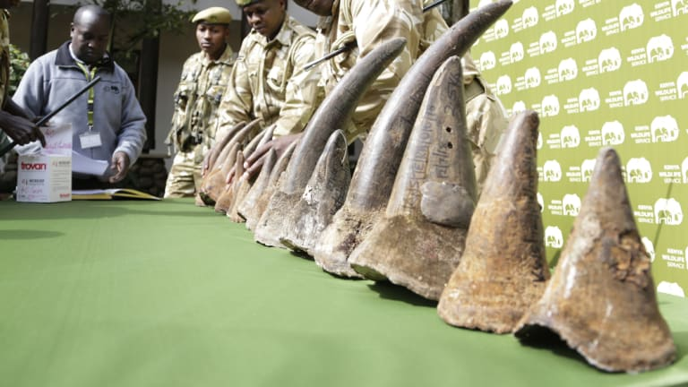 The 18 rhino horns belonging to nine of the black rhinos who died are put on display at a press conference.