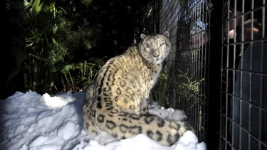 Sheva, in 2010, experiencing snow for the first time after it was shipped to the National Zoo and Aquarium from Perisher.