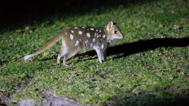 Eastern quolls born in the wild at Booderee National Park after a successful re-breeding program that is attempting to reintroduce the species that has been extinct in mainland Australia since the 1950s.