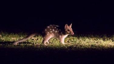 A baby quoll, now about five months old, at Booderee National Park.