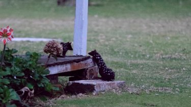 Baby quolls discovering life in the wild.