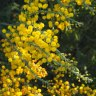 Wattle, a little ray of winter sunshine