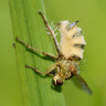 This fungus turns flies into zombies. Then it starts making cannons
