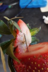A photo of a contaminated strawberry posted to social media last week.