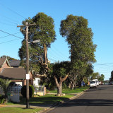 Some giant bonsai on Sydney streets have grown around the power lines to form a canopy with a doughnut hole.