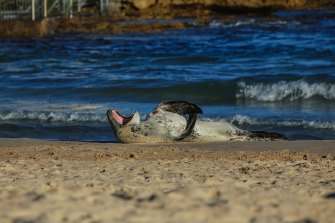 A leopard seal  on Bondi beach.