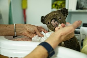 Koala care: Government plans to double the number of koalas in a bid to ensure the marsupials do not become extinct in the wild as threats from habitat loss and bushfires mount.