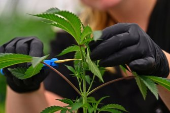 Cultivating small amounts of cannabis became legal in the ACT in 2020.