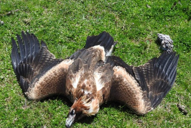 An eagle dead on a property in Tubbut, East Gippsland.