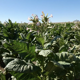 Image of a tobacco plant found during a raid on an illicit tobacco farm in Kyalite, NSW, this year.