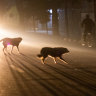 In Kabul's streets, wild dogs rule the night