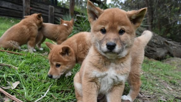 Brisbane City Council investigates suspected illegal pet dingoes