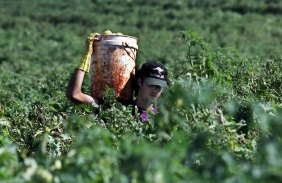 A backpacker carrying a bucket of tomatoes at a Childers farm, north of Brisbane.