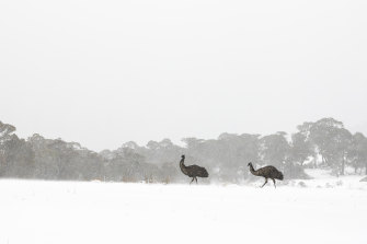 A very rare sightings of emus in the  Thredbo Valley.