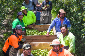 Samoan fruit pickers at Maurice and Rein Silverstein's property, Silver Orchards at Orrvale