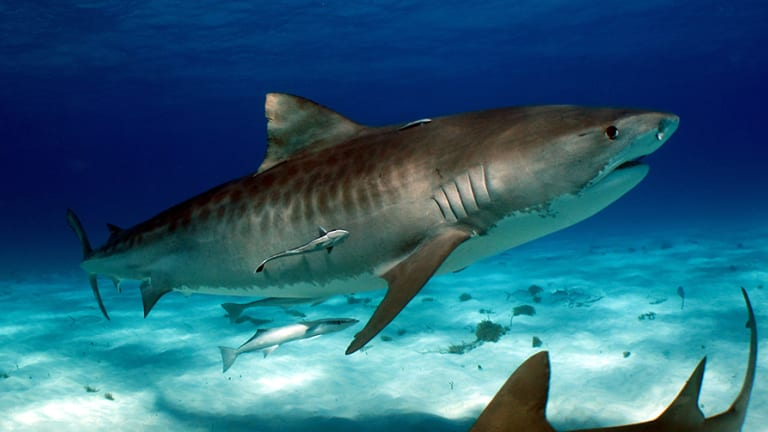 An image of a tiger shark published in the Shark Attacks: Myths, Misunderstandings and Human Fear.