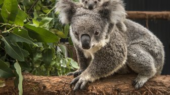 A parliamentary report last year found koalas were on track to become extinct in the wild in NSW well before 2050.