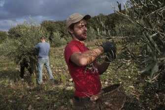 Workers pick olives at Chiarentana farm in Tuscany. I