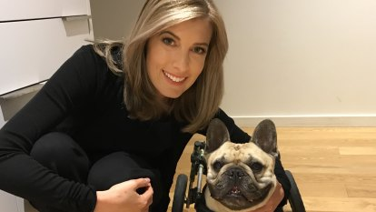 Dog on wheels: How our French Bulldog Raul defied the odds